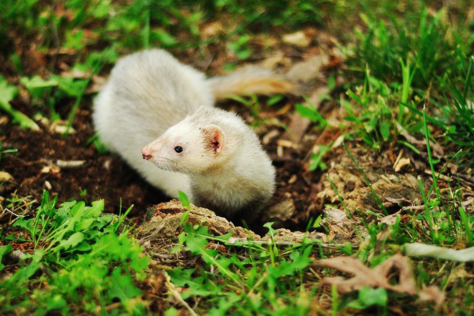 Ferret life Span