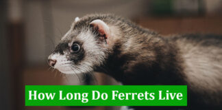 How Long Do Ferrets Live