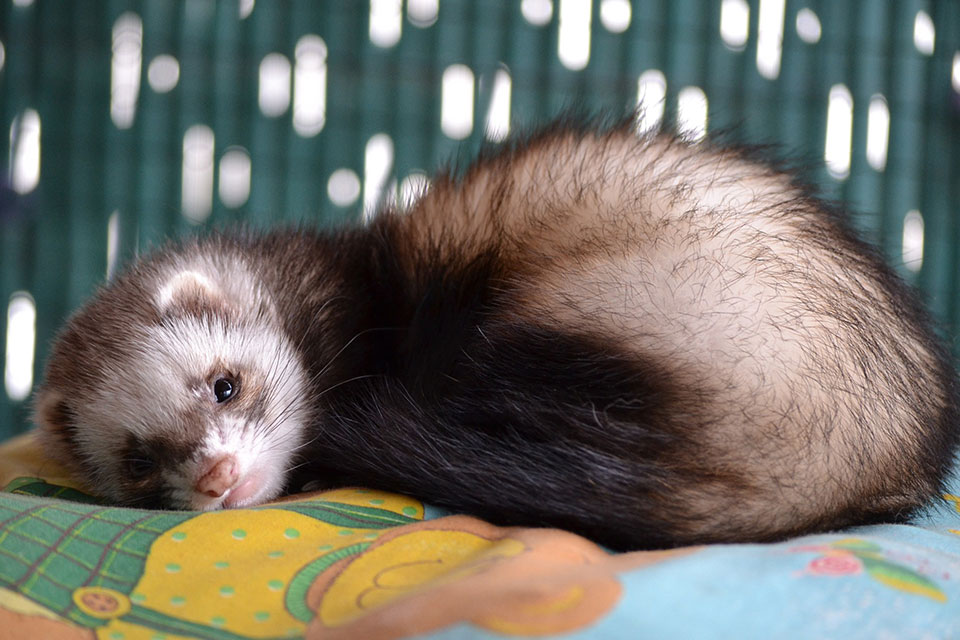 How to get Rid of Fleas on Ferrets-Chemicals