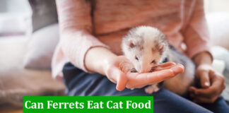 Can Ferrets Eat Cat Food
