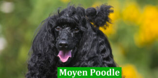 Moyen Poodle
