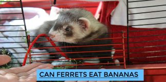 Can Ferrets Eat Bananas