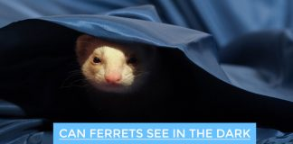 Can Ferrets See in the Dark
