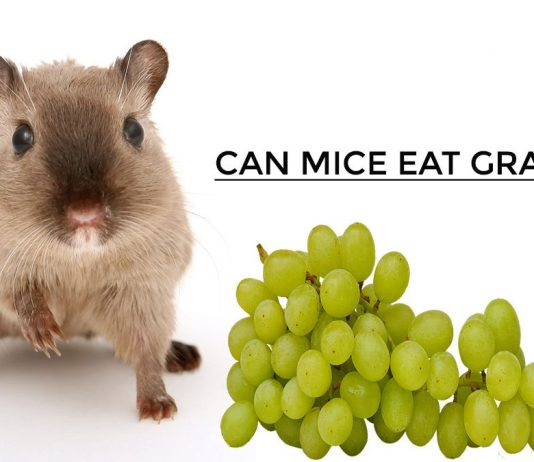 Can Mice Eat Grapes
