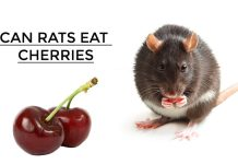 Can Rats Eat Cherries
