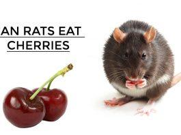 Can Rats Eat Cherries