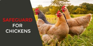 Safeguard for Chickens
